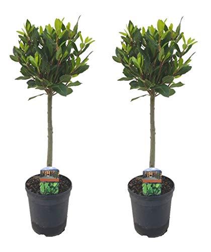 PAIR OF 2x STANDARD LOLLIPOP BAY TREES - LAURUS NOBILIS EVERGREEN - 3L BLACK POT - 80cm
