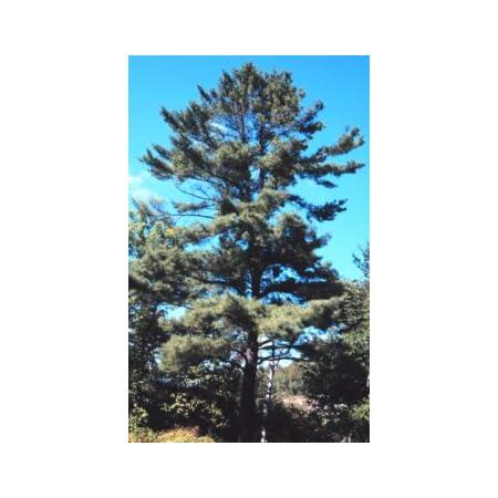 Eastern White Pine Tree Seeds