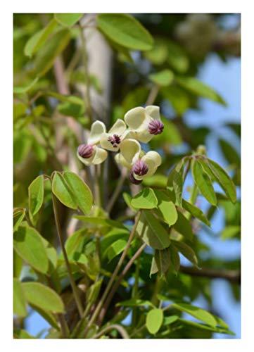 TROPICA - Schokoladenwein (Akebia quinata) - 7 Samen