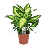 Dieffenbachia Seguina CAMILLA | Canne des muets | Plante tropicale d'intérieur | Hauteur 30-40cm | Pot Ø 12cm