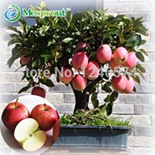 Best Selling ! 100 pcs Bonsai Apple Tree Seeds rare fruit bonsai tree-- red delicious apple seeds garden for flower pot planters - Arcis New