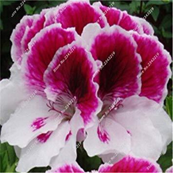 VISTARIC gemischt: 1 PC-Echt Thailand Adenium Obesum Samen Hausgarten Bonsai Seltene Garten Ornamente Blumentöpfe Pflanzkübel