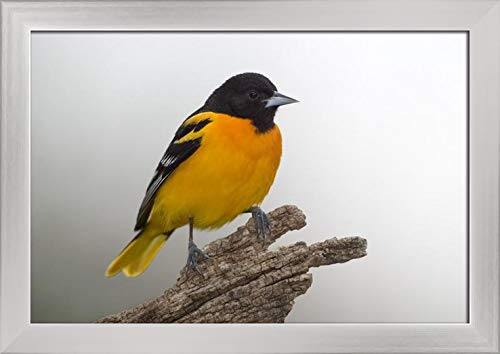 Northern Baltimore Oriole Bird A-9006162 (18x12 Giclee Art Print, Gallery Framed, Silver Wood)