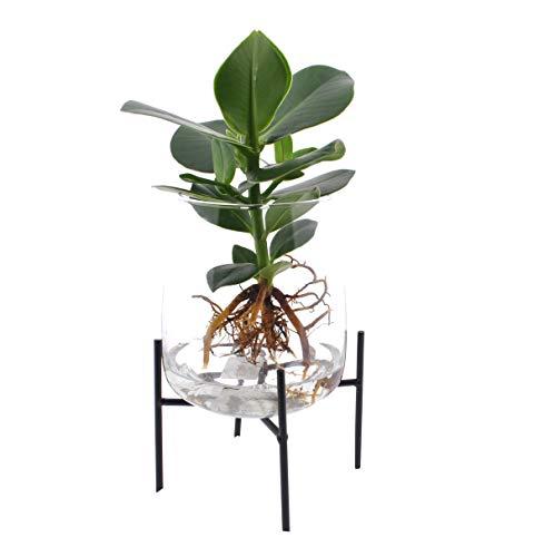 Zimmerpflanze von Botanicly – Balsamapfel in Glas mit Ständer als Set – Höhe: 35 cm – Clusia