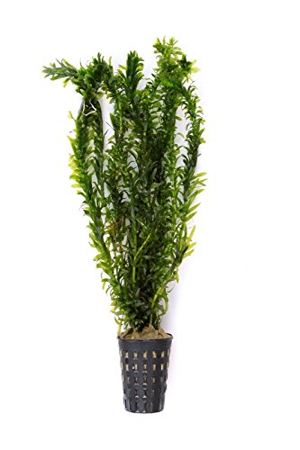 Dekoimtrend Egeria densa Elodea densa Tropische Art Tropische Wasserpest im Topf Wasserpflanze Aquarium Aquariumpflanze