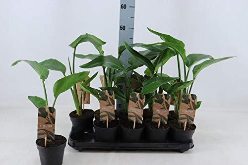 Strelitzia nicolai 25 cm Baumstrelitzie Baum-Paradiesvogelblume
