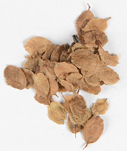 Chinesische Ulme Ulmus parvifolia 400 Samen