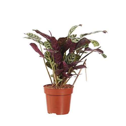 Indoor-Helden Ctenanthe burle-marxii - Korbmarante, Topf-Ø: 12 cm, Höhe: 40 cm Gebetspflanze Zimmerpflanze