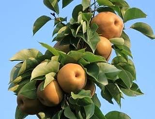 Atago Asian Pear Tree - 2 Year Old 4-5 Ft Tall - Bob Wells Nursery