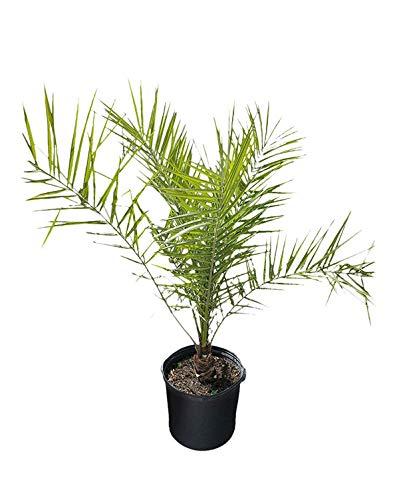 Plantvine Phoenix Canariensis,加那利岛枣棕榈,菠萝棕榈 - 大 -  8-10寸锅(3加仑),活植物