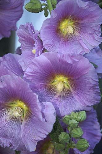 25 Violet Jaune trémière vivace Graines géant Flower Garden Bloom Plante