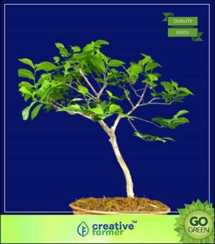 FERRY Hohe Wachstum Seeds Nicht NUR Pflanzen: Saatgut von s Arjuna (Terminalia Arjuna) Samt für Gärten Seed (10 pro Paket)