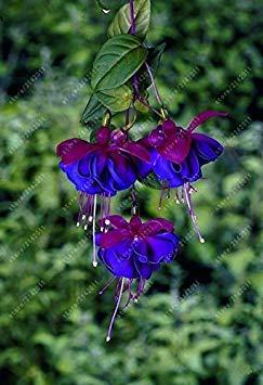 Vista 100 pcs/sac de graines de fuchsia, fleur fuchsia, bonsaï Suspendre des graines de fleurs, plante en pot lanterne graines de bégonia pour la maison jardin 14