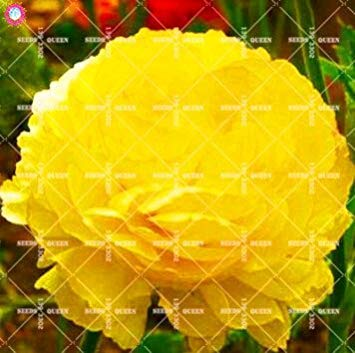 ASTONISH SEEDS: Semillas 10 piezas de doble Blooms Peony semillas de la herencia Sorbete Ro Peony Bonsai Red Flower Pot Peony del árbol Semillas de plantas de jardín 14