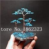 Bloom Green Co. Bonsai 50 piezas de enebro japonÃs Bonsai Starter Tree Juniperus Procumbens Nana Planta en maceta para el hogar y amp; Jardín fácil de cultivar: 2