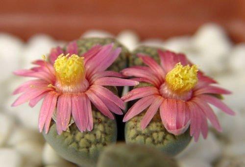 Détails sur Lithops verruculosa cv Rose du Texas, vivant graine de pierre de roche en pierre 100 graines