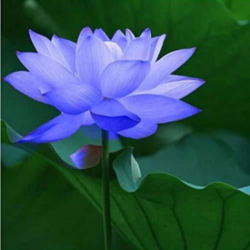 begorey Garten - Seltene Mini Lotusblumen Samen Hydroponischen Wasser Blume Pflanze Lotus Saatgut Indoor/Teich Lotus Blumensamen Wasserpflanzen Zierpflanze Winterhart Mehrjährig