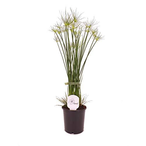 Zyperngras Cyperus haspan 60 cm Zwergpapyrus Zimmerpflanze