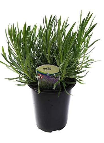 Findlavender Lavender Provence Blue Flowers (2.5QT Size Pot, Bee Friendly, Evergreen Plant , 1 Live Plant)