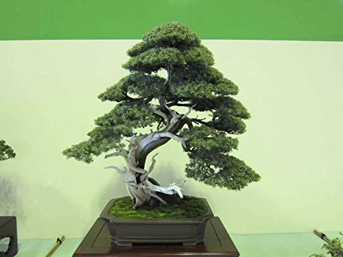 Pinkdose 15 Seeds Utah Juniper Bonsai Tree (Juniperus