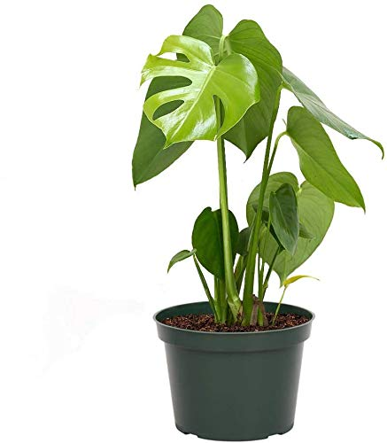 """AMERICAN PLANT EXCHANGE Philodendron Monstera Deliciosa Split Leaf Easy Care Live Plant, 6"""" Pot 18-20""""Tall, Indoor Air Purifier"""