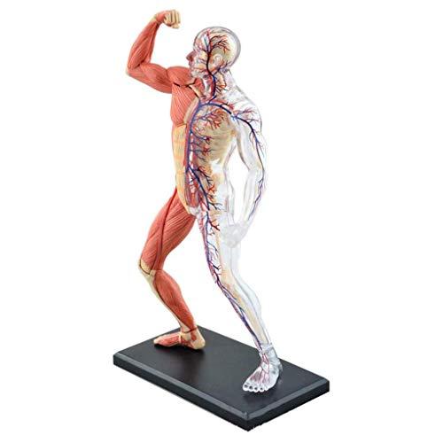 GEEFSU-Anatomisches Modell Menschliches Blutgefäß Muskel-Skelett - Montiert Spielzeug Krankenhaus Lehrmittel