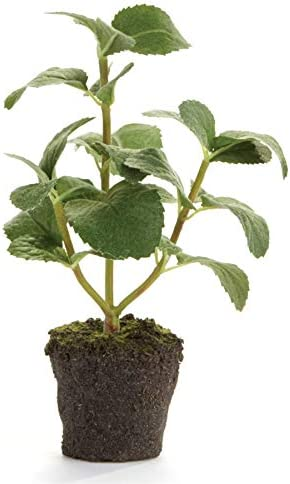 Napa Home Garden Conservatory Mint HERB Drop in 8 INCH product image