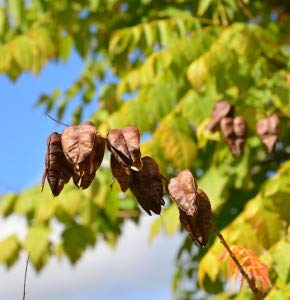 Rispiger Blasenbaum 125-150cm - Koelreuteria paniculata