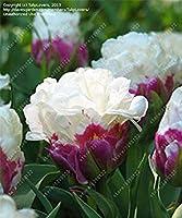 真のチューリップ球根二重チューリップ「バルバドス」(非チューリップ種子)花球根、球根チューリップ球根根チューリップ園芸植物2個15