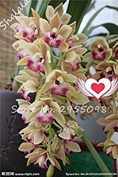 Vistaric Una bolsa = 200pcs Cymbidium Orchid, Multi Color Cymbidium Orchid Plant, Semillas de flores Bonsai, Crecimiento natural, Plantas para el huerto familiar 20