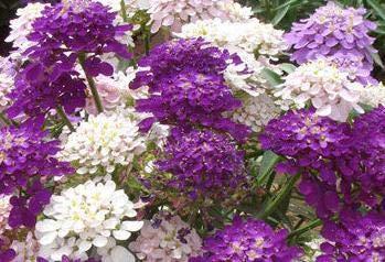 SANHOC Mischen von 100 Stück Iberis Amara ornamentalen Blumen und Pflanzen Vier Jahreszeiten leicht Pflanze Balkon Garten Bepflanzung Bonsai Pflanzen