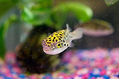 Odysseaaqurium (2 Cute Green Spotted Puffer Fish Tetraodone nigroviridis Tropical Aquarium Freshwater