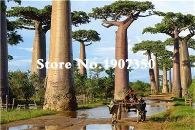 Kalash nuevas 10 PC baobab plantseeds gigantes tropicales para cultivar un huerto verde 2