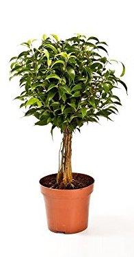 Birkenfeige Hochstamn, Ficus Babilatos,...