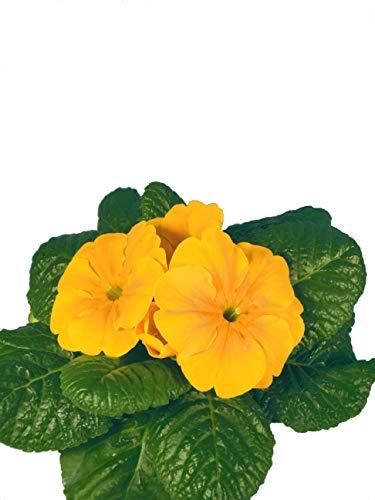 Kissenprimel orange Großartige Frühlingspflanzen