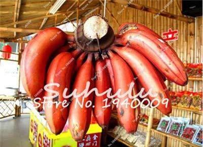 Bloom Green Co. Bonsai 50 Pcs Nain Bananier, Arbre fruitier tropical intérieur, Bonsai Balcon fleurs pour la plantation d'accueil, Germination taux de 95%: g