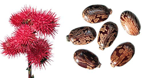 Ricinus communis - Wunderbaum - (Palma Christi) - 10 Samen -