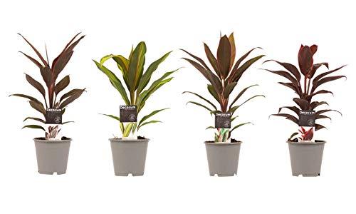 Plantas de interior de Botanicly – 4 × Cordiline – Altura: 40 cm – Cordyline Fruticosa Kiwi, Cordyline Fruticosa Mambo, Cordyline Fruticosa Tango, Cordyline Fruticosa Rumba