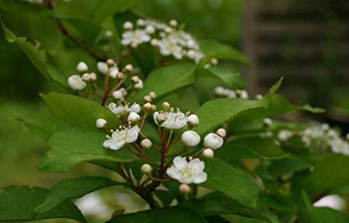 Glanzmispel Photinia villosa Pflanze 35-40cm Scharlach-Glanzblattmispel Rarität