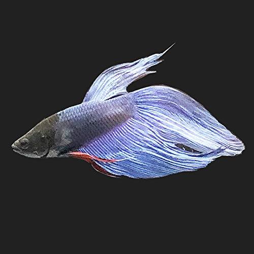 【生体】(熱帯魚)ベタ・トラディショナル ブルー系(オス)(1匹) emuwai