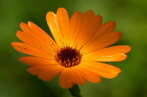 graines semences BIO fleurs souci odorante et fleur a couper pour charmer les papillons abeilles