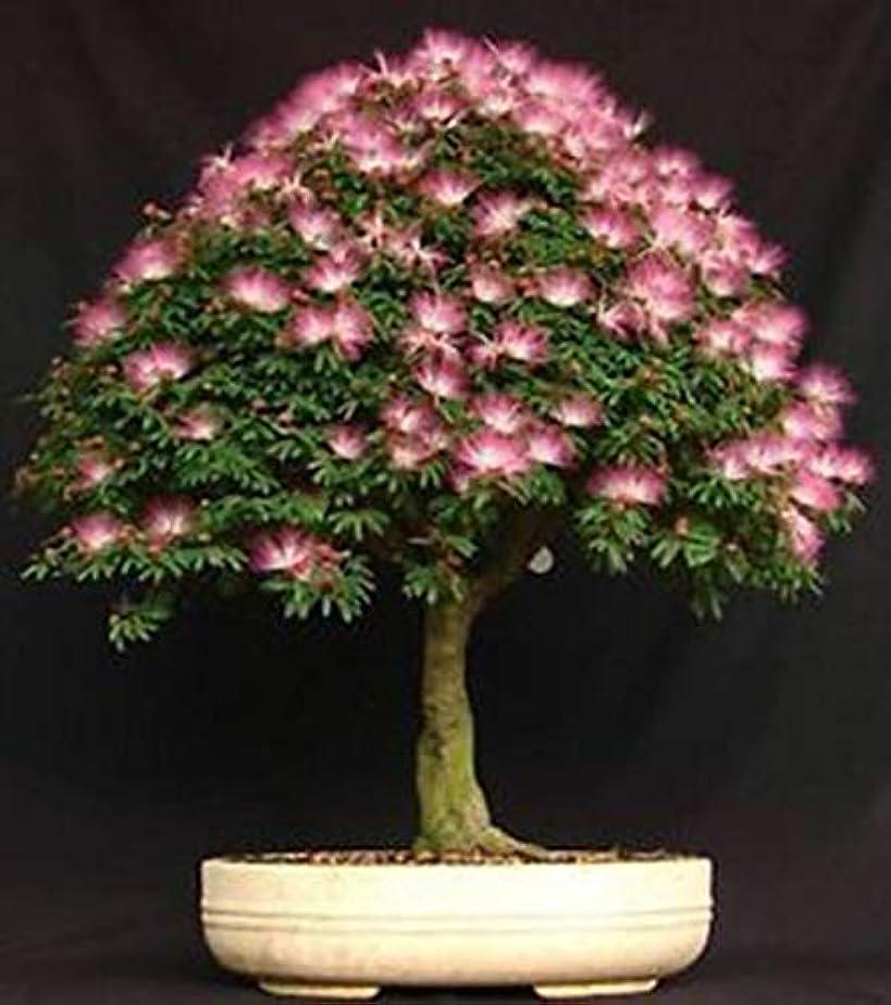 偽ドルスリップシューズ10個の種子盆栽AiziaSilkツリーガーデン種子ハウス