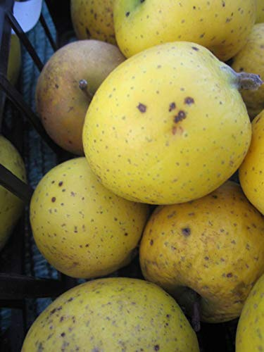 Malus Ananasrenette - Herbstapfel Ananasrenette