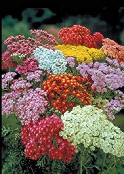 ASTONISH Pacchetto semi: 100 Achillea Millefoglie Semi estate Pastels ()