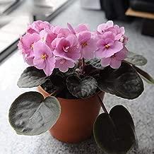 Plants Violet Violet Pot Hot Sale Rare Pink Violet Garden Plants Potted Violet Perennial Herb Matthiola Incana 100PCS