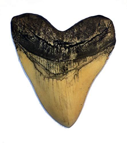 Megalodon Giant Shark Tooth (White)
