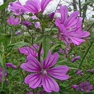 Outsidepride Hollyhock Mauritiana Flower Plant Seed - 500 Seeds