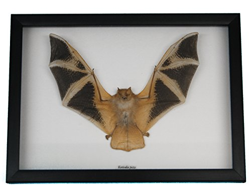Framed Real Yellow Bat (1234-40)