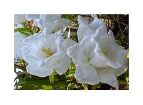 50 + Samen/Pack Campanula White Double Canterbury Bells mehrjährige Blumensamen