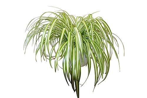 Planta de interior - Planta para la casa o la oficina - Chlorophytum - Planta araña de interior